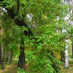 Acer negundo L. (Клен ясенелистный) 7