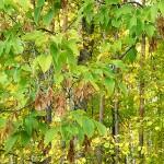 Acer negundo L. (Клен ясенелистный) 8
