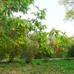 Acer negundo L. (Клен ясенелистный) 9