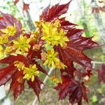 Acer platanoides 'Crimson King' (Клен остролистный 'Crimson King') 10