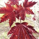 Acer platanoides 'Crimson King' (Клен остролистный 'Crimson King') 11