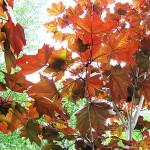 Acer platanoides 'Crimson King' (Клен остролистный 'Crimson King') 12