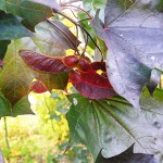 Acer platanoides 'Crimson King' (Клен остролистный 'Crimson King') 3