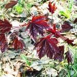 Acer platanoides 'Crimson King' (Клен остролистный 'Crimson King') 6