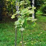 Acer platanoides 'Drummondii' (Клен остролистный 'Drummondii') 2