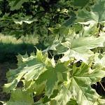 Acer platanoides 'Drummondii' (Клен остролистный 'Drummondii') 3