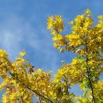 Acer platanoides L. (Клен остролистный) 10