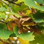 Acer platanoides L. (Клен остролистный) 12