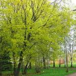 Acer platanoides L. (Клен остролистный) 13