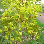 Acer platanoides L. (Клен остролистный) 14