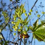 Acer platanoides L. (Клен остролистный) 15