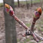 Acer platanoides L. (Клен остролистный)