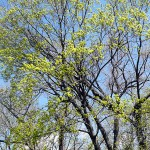 Acer platanoides L. (Клен остролистный) 16