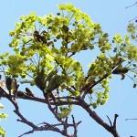 Acer platanoides L. (Клен остролистный) 17
