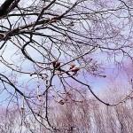 Acer platanoides L. (Клен остролистный) 18
