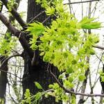 Acer platanoides L. (Клен остролистный) 2