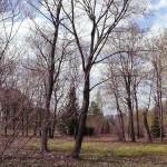 Acer platanoides L. (Клен остролистный) 21