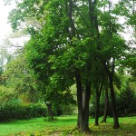 Acer platanoides L. (Клен остролистный) 8