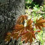 Acer platanoides 'Schwedleri' (Клен остролистный 'Schwedleri') 2