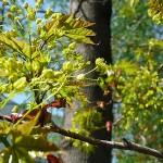 Acer platanoides 'Schwedleri' (Клен остролистный 'Schwedleri') 3