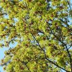 Acer platanoides 'Schwedleri' (Клен остролистный 'Schwedleri') 4