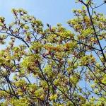 Acer platanoides 'Schwedleri' (Клен остролистный 'Schwedleri') 5