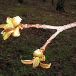 Acer platanoides 'Schwedleri' (Клен остролистный 'Schwedleri') 8