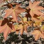 Acer pseudoplatanus L. (Клен явор) 8