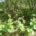 Acer pseudoplatanus L. (Клен явор) 9