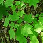 Acer pseudoplatanus 'Purpurascens' (Клен явор 'Purpurascens') 3