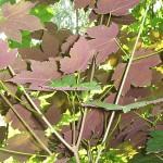 Acer pseudoplatanus 'Purpurascens' (Клен явор 'Purpurascens') 4