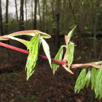 Acer pseudosieboldianum (Pax) Kom (Клен ложнозибольдов)