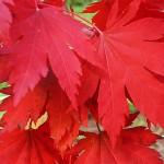 Acer pseudosieboldianum (Pax) Kom (Клен ложнозибольдов) 3