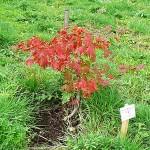 Acer pseudosieboldianum (Pax) Kom (Клен ложнозибольдов) 4