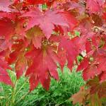 Acer pseudosieboldianum (Pax) Kom (Клен ложнозибольдов) 5