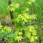 Acer pseudosieboldianum (Pax) Kom (Клен ложнозибольдов) 7