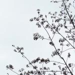 Acer saccharinum L. (Клен серебристый) 12