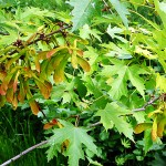 Acer saccharinum L. (Клен серебристый) 122