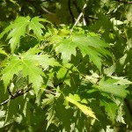 Acer saccharinum L. (Клен серебристый) 13