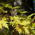 Acer saccharinum L. (Клен серебристый) 14