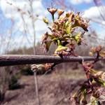 Acer saccharinum L. (Клен серебристый) 15