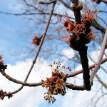 Acer saccharinum L. (Клен серебристый)