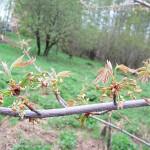 Acer saccharinum L. (Клен серебристый) 2