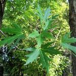 Acer saccharinum L. (Клен серебристый) 6
