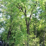 Acer saccharinum L. (Клен серебристый) 7