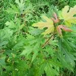 Acer saccharinum L. (Клен серебристый) 8