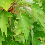 Acer saccharinum L. (Клен серебристый) 9