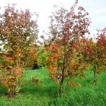 Acer spicatum Lam (Клен колосистый) 10