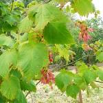 Acer spicatum Lam (Клен колосистый) 12