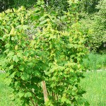 Acer spicatum Lam (Клен колосистый) 14